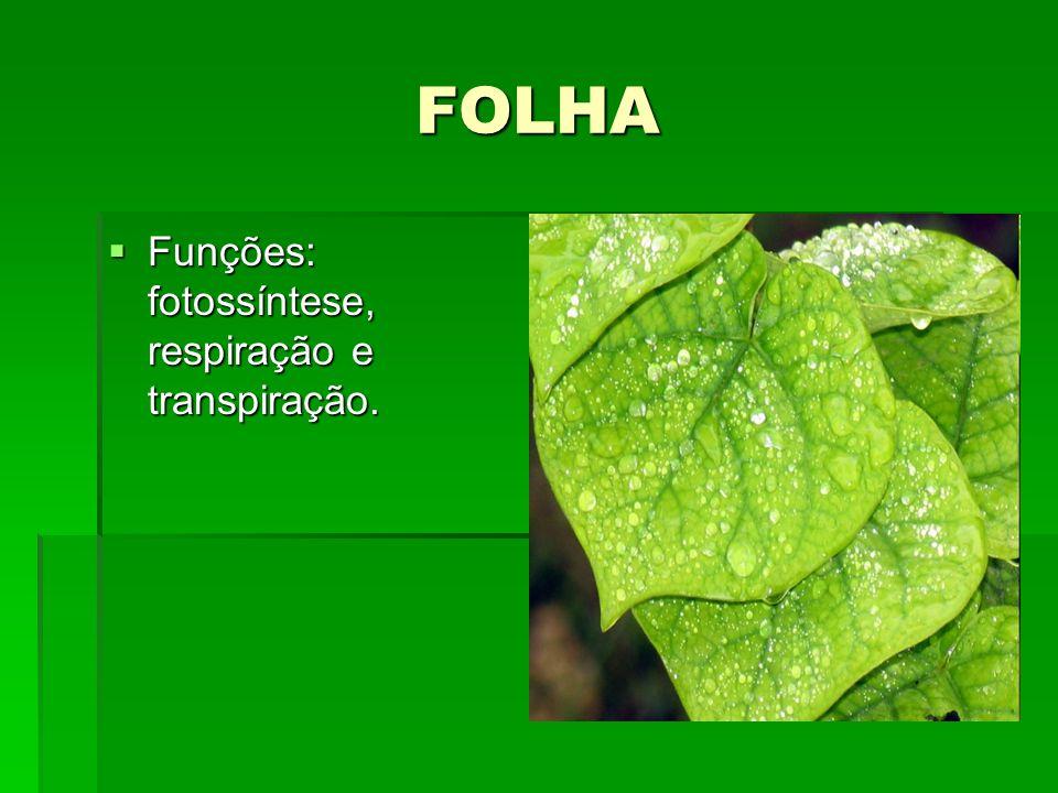 FOLHA Funções: fotossíntese, respiração e transpiração.