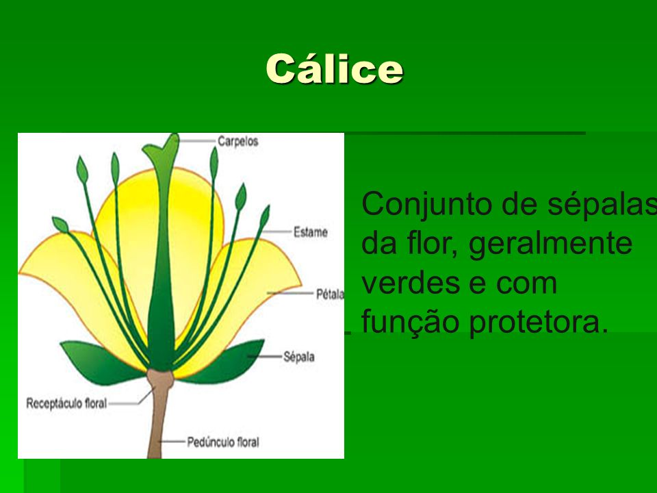 Cálice Conjunto de sépalas da flor, geralmente verdes e com função protetora.