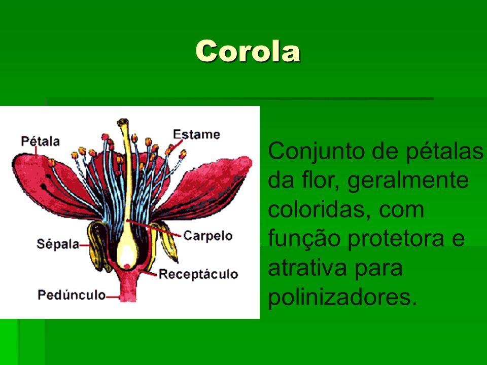 Corola Conjunto de pétalas da flor, geralmente coloridas, com função protetora e atrativa para polinizadores.