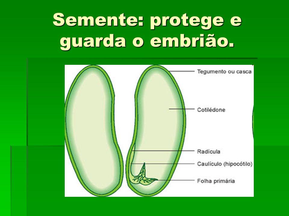 Semente: protege e guarda o embrião.