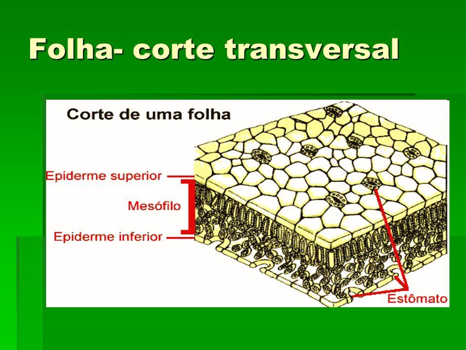 Folha- corte transversal