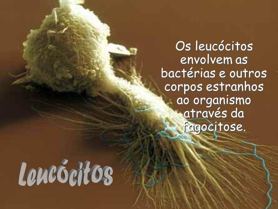 Os leucócitos envolvem as bactérias e outros corpos estranhos ao organismo através da fagocitose.