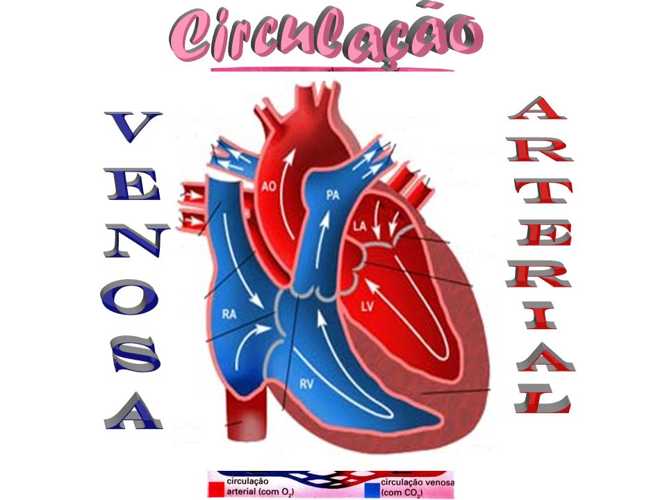 Circulação Arterial Venosa