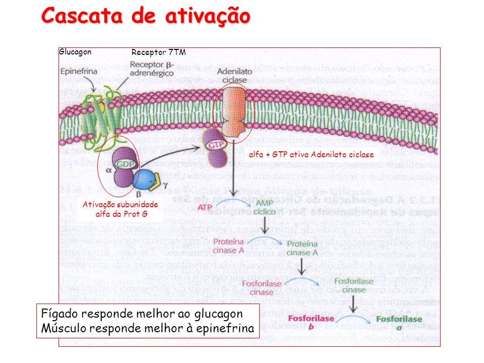 alfa + GTP ativa Adenilato ciclase