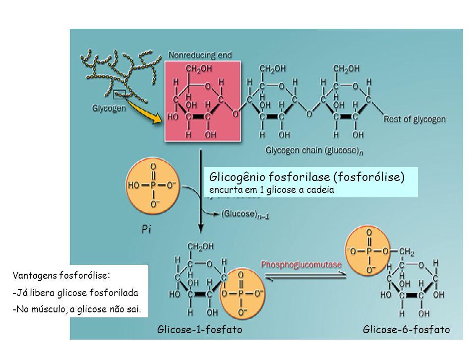 Glicogênio fosforilase (fosforólise) encurta em 1 glicose a cadeia