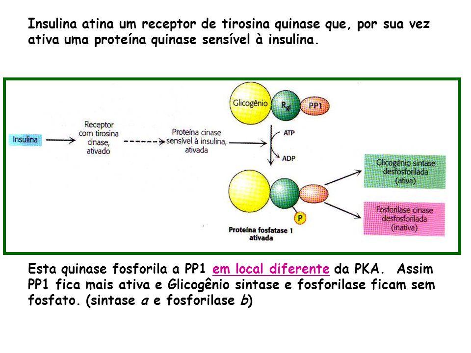 Insulina atina um receptor de tirosina quinase que, por sua vez ativa uma proteína quinase sensível à insulina.