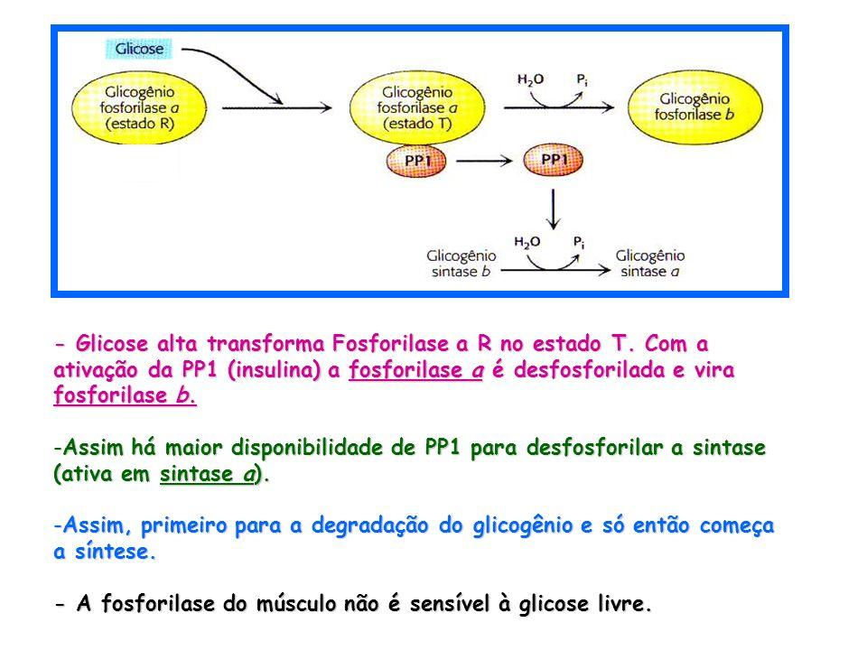 - Glicose alta transforma Fosforilase a R no estado T