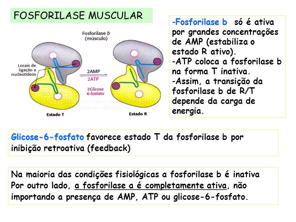 FOSFORILASE MUSCULAR Fosforilase b só é ativa por grandes concentrações de AMP (estabiliza o estado R ativo).