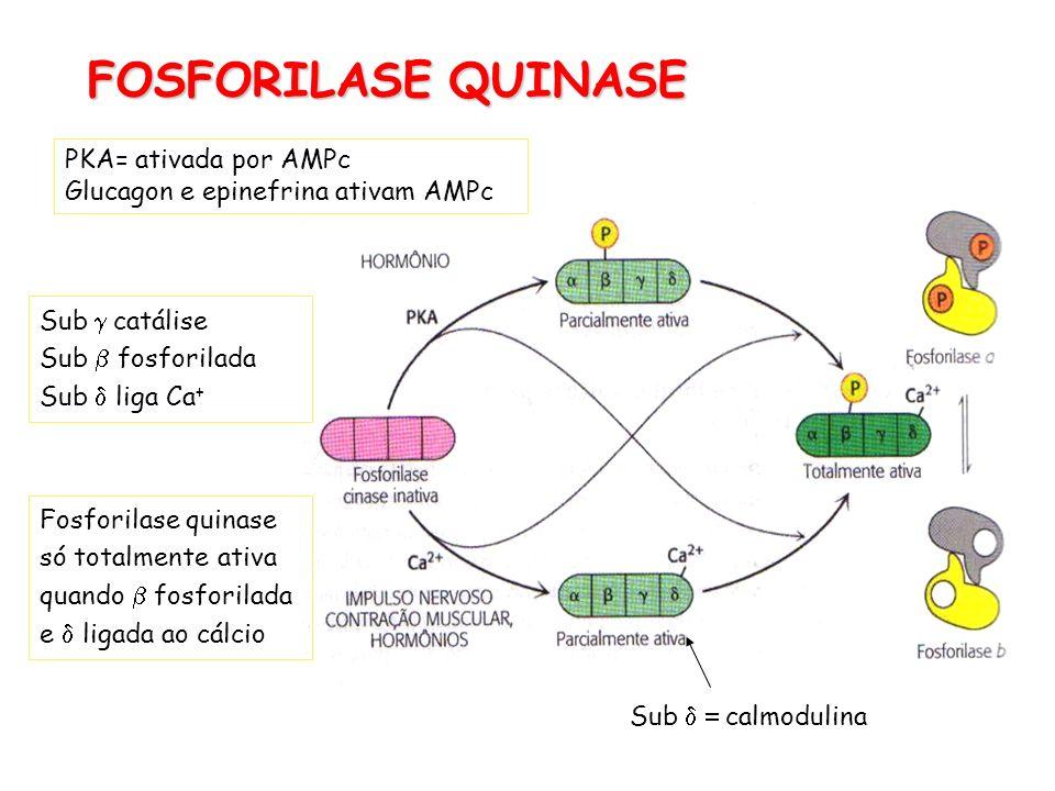 FOSFORILASE QUINASE PKA= ativada por AMPc