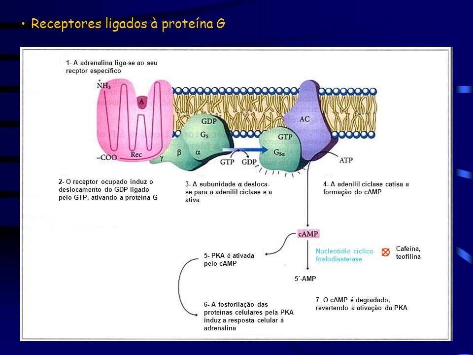 Receptores ligados à proteína G