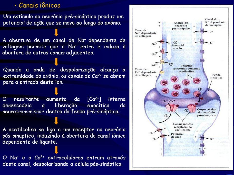 Canais iônicos Um estímulo ao neurônio pré-sináptico produz um potencial de ação que se move ao longo do axônio.