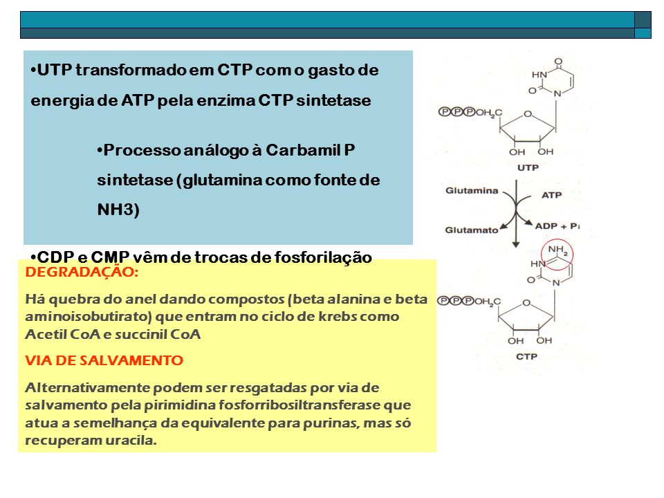 Processo análogo à Carbamil P sintetase (glutamina como fonte de NH3)