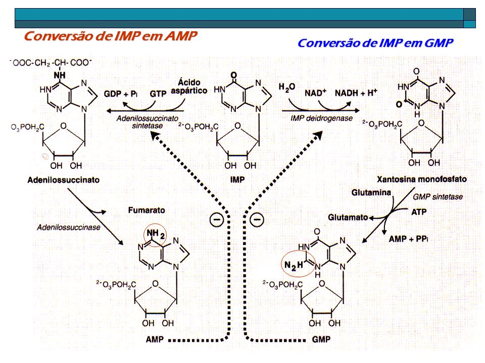 Conversão de IMP em AMP Conversão de IMP em GMP