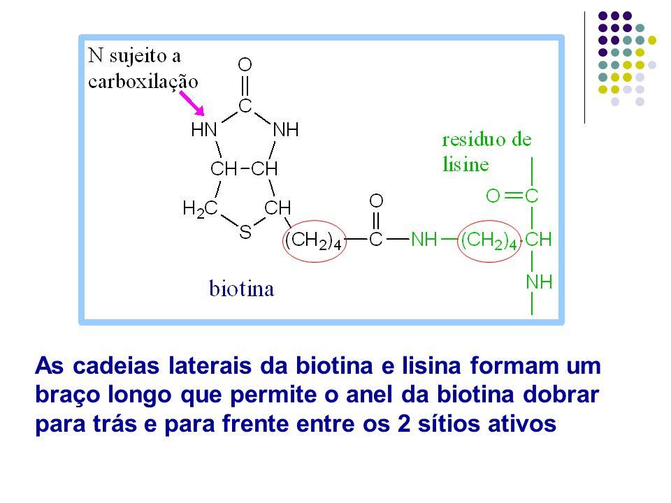 As cadeias laterais da biotina e lisina formam um braço longo que permite o anel da biotina dobrar para trás e para frente entre os 2 sítios ativos