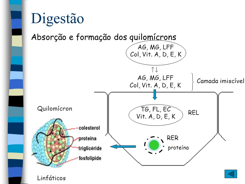Digestão Absorção e formação dos quilomícrons AG, MG, LFF