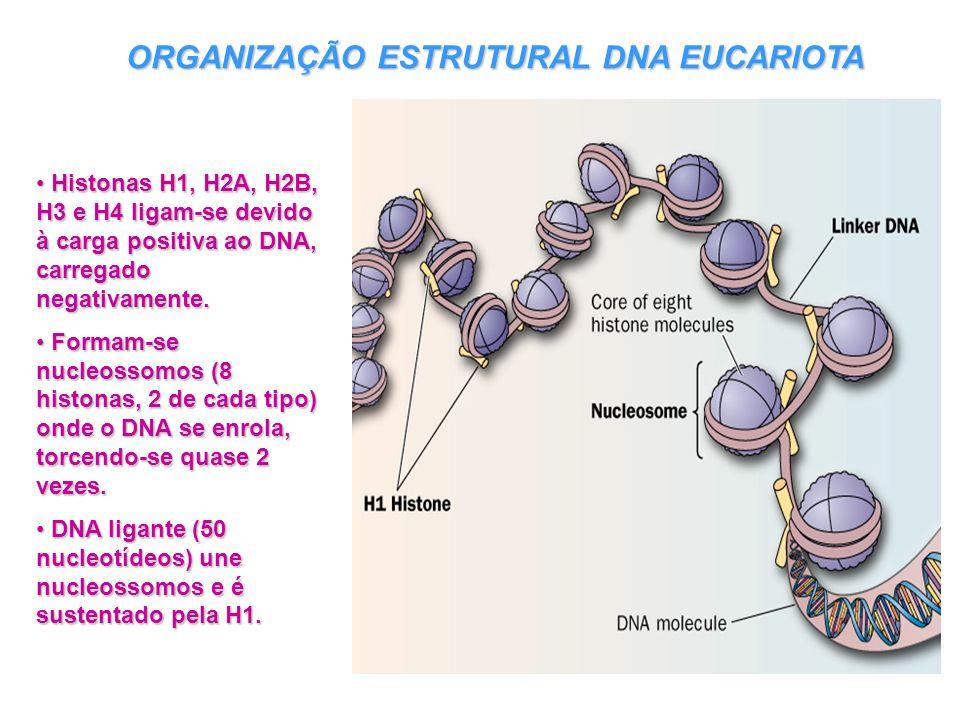 ORGANIZAÇÃO ESTRUTURAL DNA EUCARIOTA