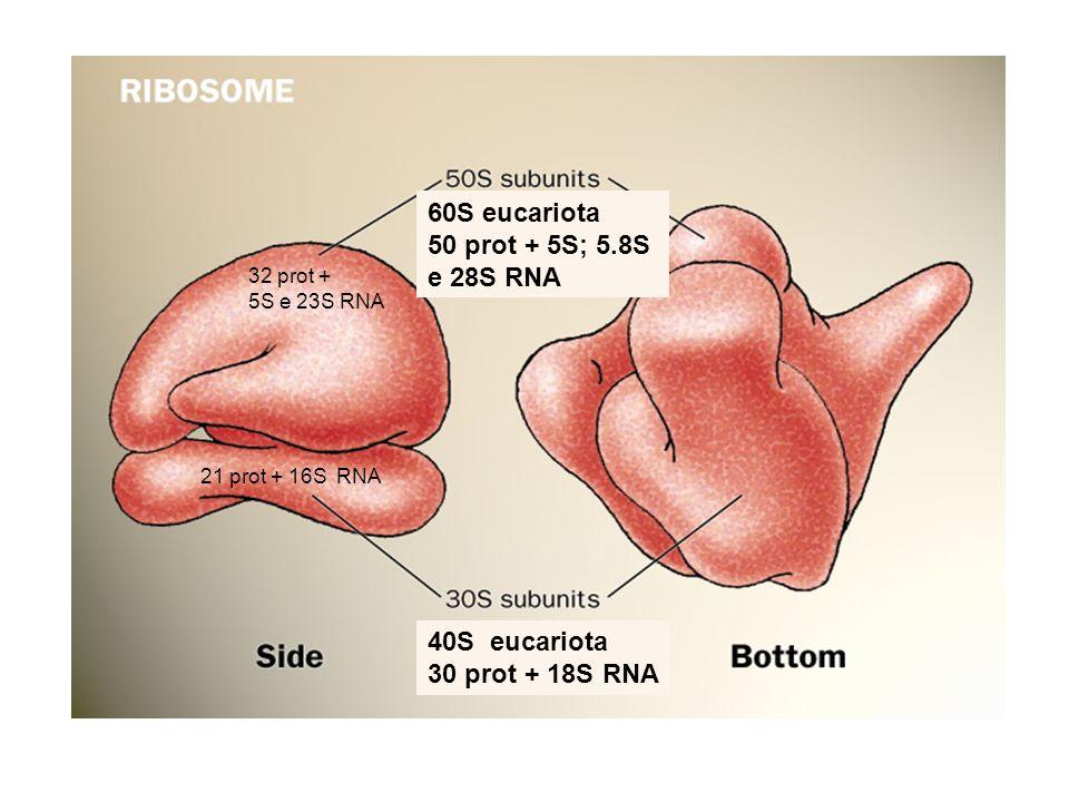 60S eucariota 50 prot + 5S; 5.8S e 28S RNA 40S eucariota