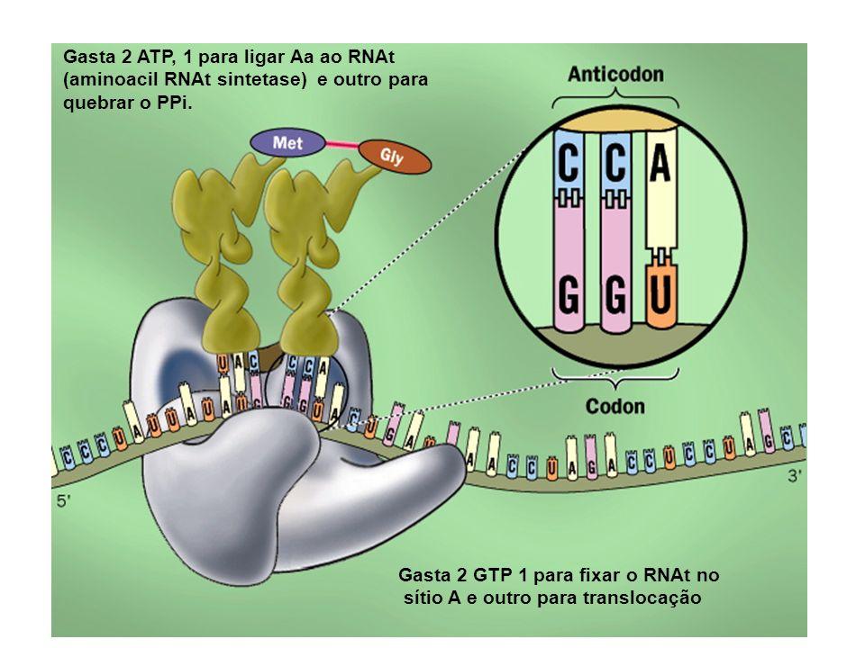 Gasta 2 GTP 1 para fixar o RNAt no