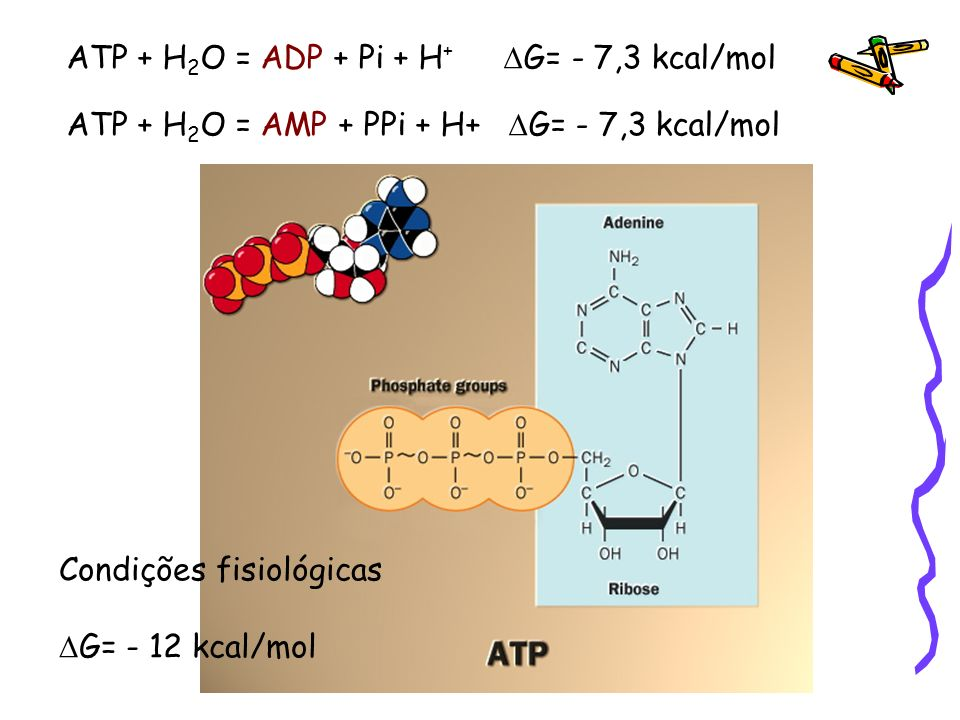 ATP + H2O = ADP + Pi + H+ DG= - 7,3 kcal/mol