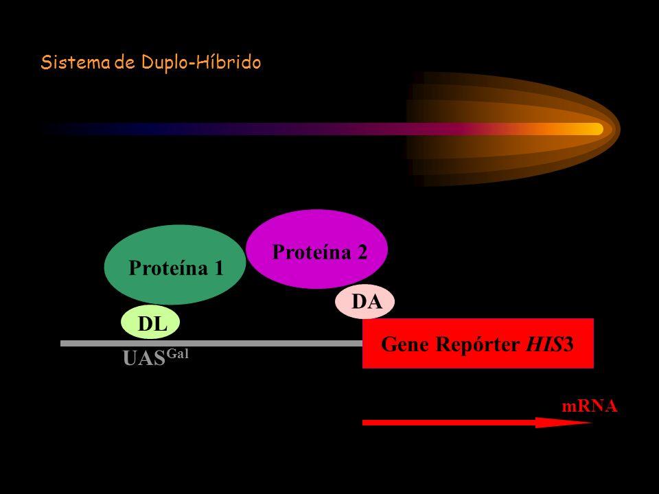 Proteína 2 Proteína 1 DA DL Gene Repórter HIS3 UASGal