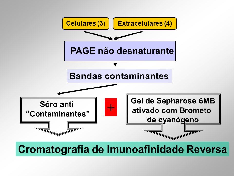 + Cromatografia de Imunoafinidade Reversa PAGE não desnaturante