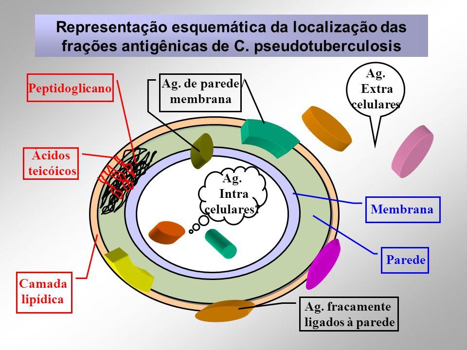 Representação esquemática da localização das frações antigênicas de C