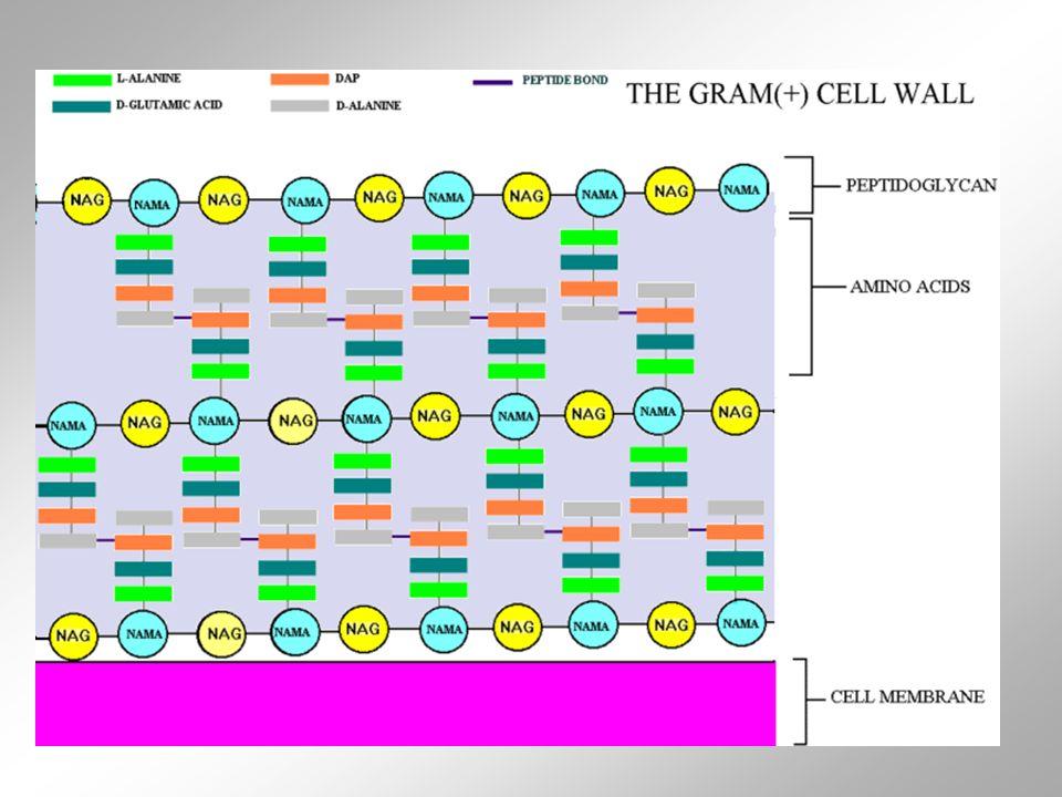 A parede é constituida de várias camadas de peptidoglicanos