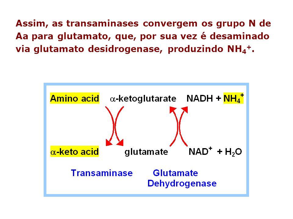 Assim, as transaminases convergem os grupo N de Aa para glutamato, que, por sua vez é desaminado via glutamato desidrogenase, produzindo NH4+.