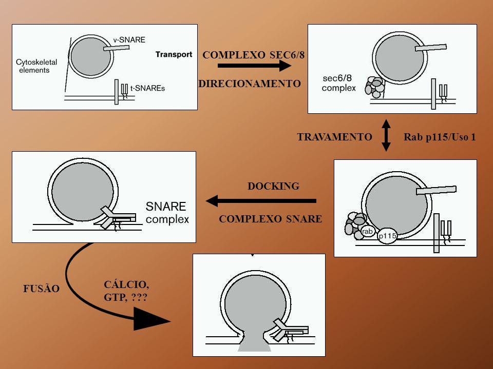 COMPLEXO SEC6/8 DIRECIONAMENTO. TRAVAMENTO. Rab p115/Uso 1. DOCKING. COMPLEXO SNARE. CÁLCIO, GTP,