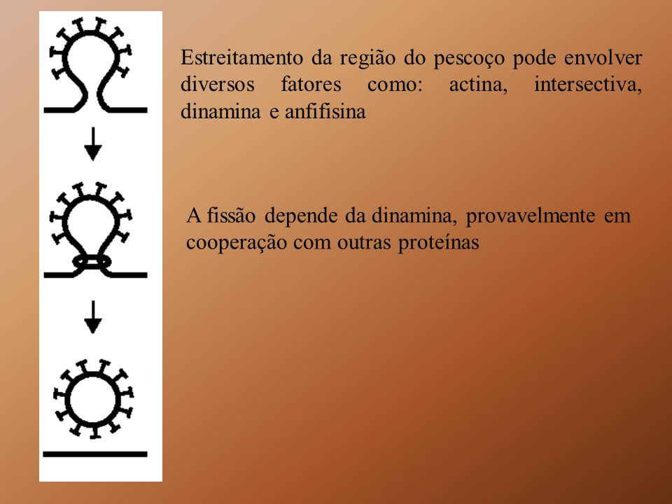 Estreitamento da região do pescoço pode envolver diversos fatores como: actina, intersectiva, dinamina e anfifisina