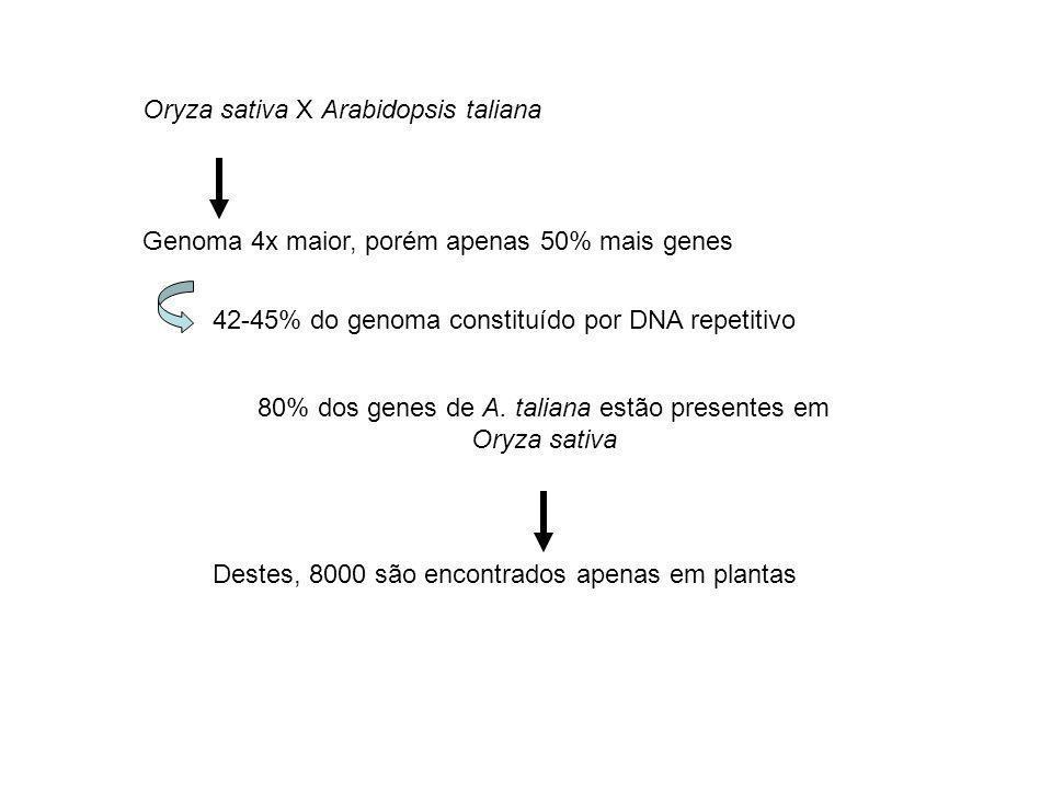 80% dos genes de A. taliana estão presentes em Oryza sativa