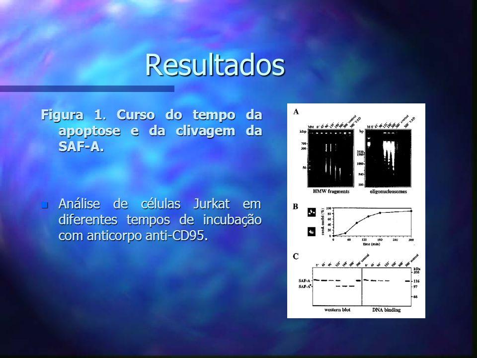 Resultados Figura 1. Curso do tempo da apoptose e da clivagem da SAF-A.