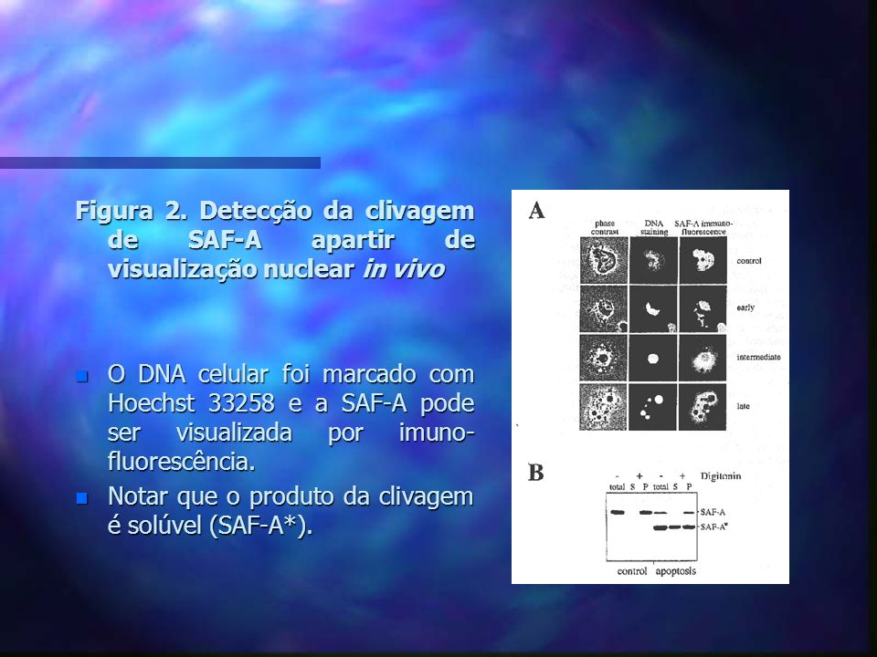 Figura 2. Detecção da clivagem de SAF-A apartir de visualização nuclear in vivo