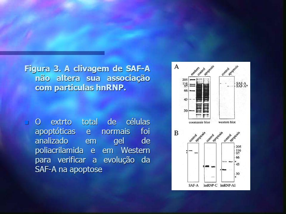 Figura 3. A clivagem de SAF-A não altera sua associação com particulas hnRNP.
