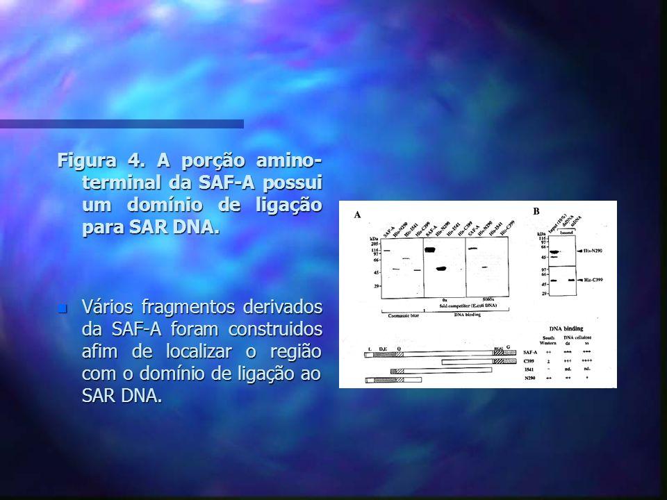 Figura 4. A porção amino- terminal da SAF-A possui um domínio de ligação para SAR DNA.