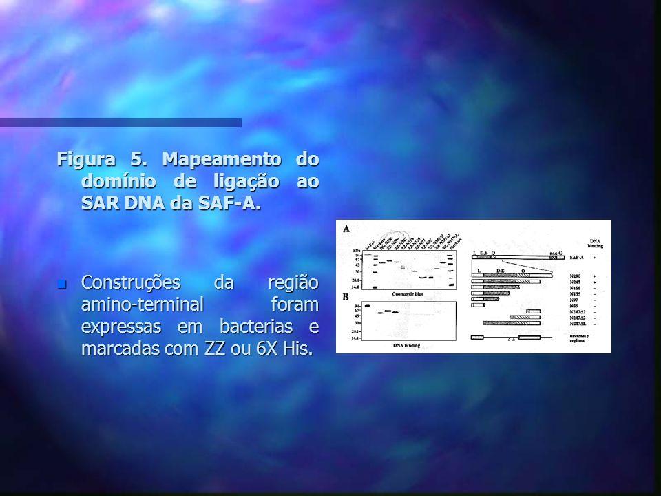 Figura 5. Mapeamento do domínio de ligação ao SAR DNA da SAF-A.