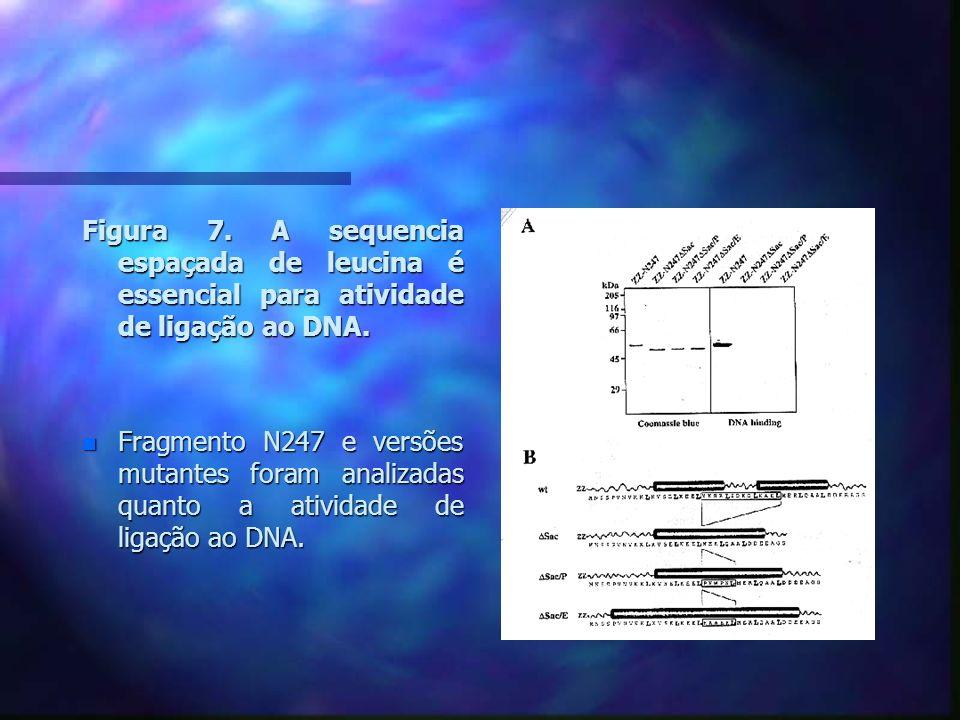 Figura 7. A sequencia espaçada de leucina é essencial para atividade de ligação ao DNA.