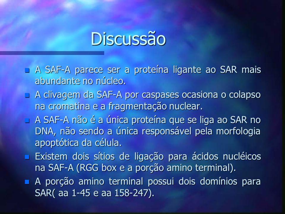 Discussão A SAF-A parece ser a proteína ligante ao SAR mais abundante no núcleo.