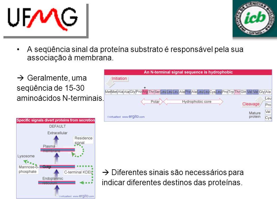 aminoácidos N-terminais.