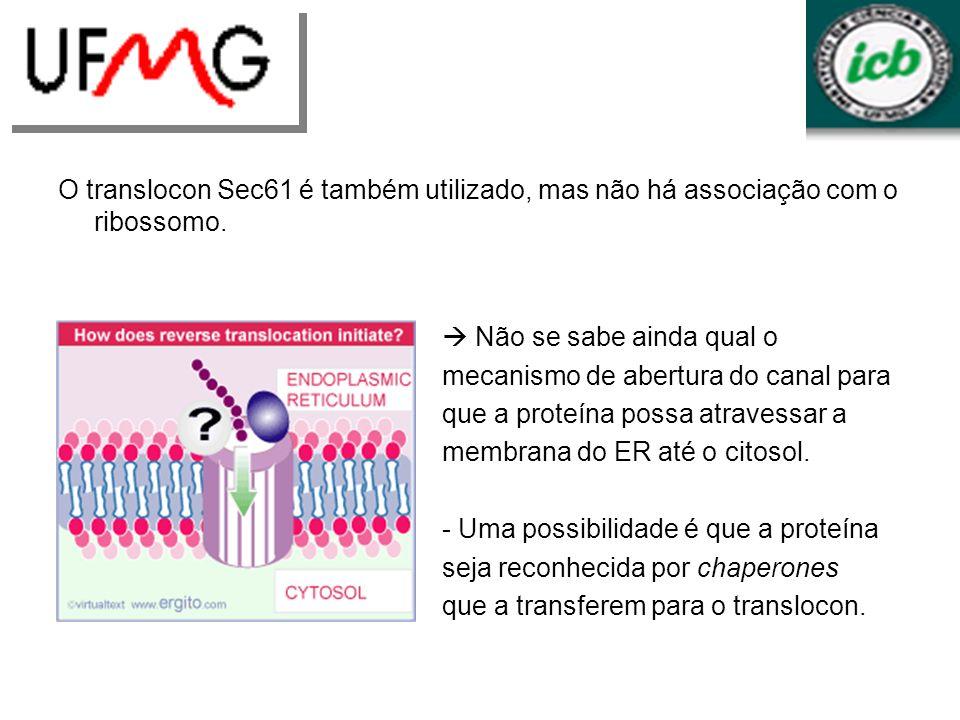 O translocon Sec61 é também utilizado, mas não há associação com o ribossomo.