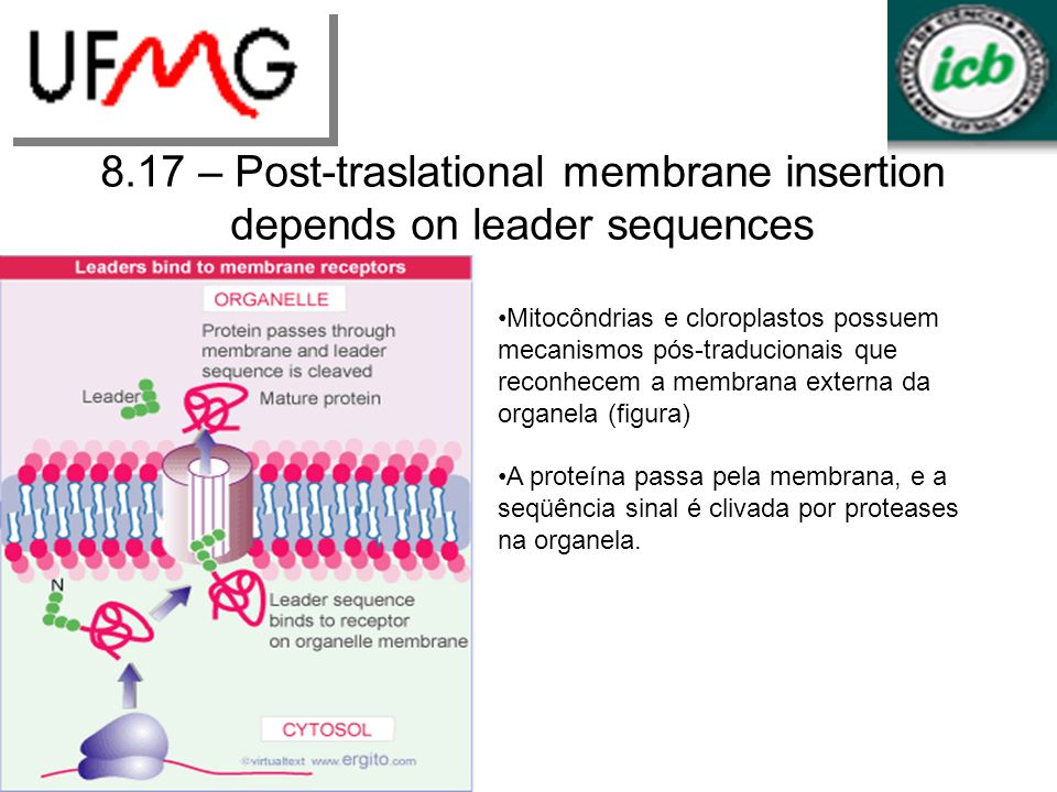8.17 – Post-traslational membrane insertion depends on leader sequences