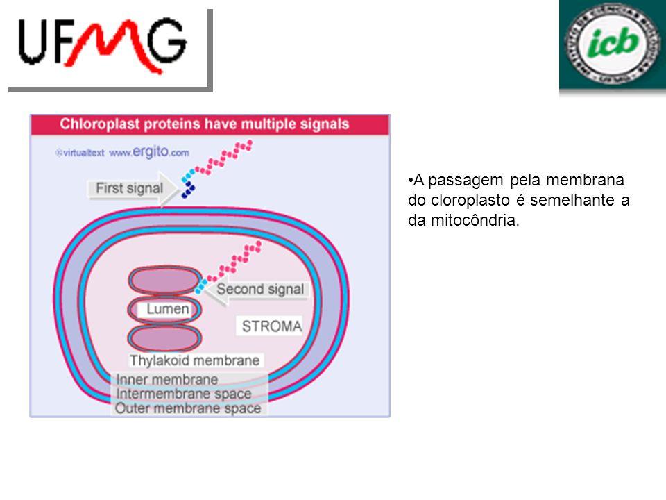 A passagem pela membrana do cloroplasto é semelhante a da mitocôndria.