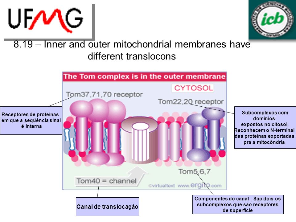 8.19 – Inner and outer mitochondrial membranes have different translocons