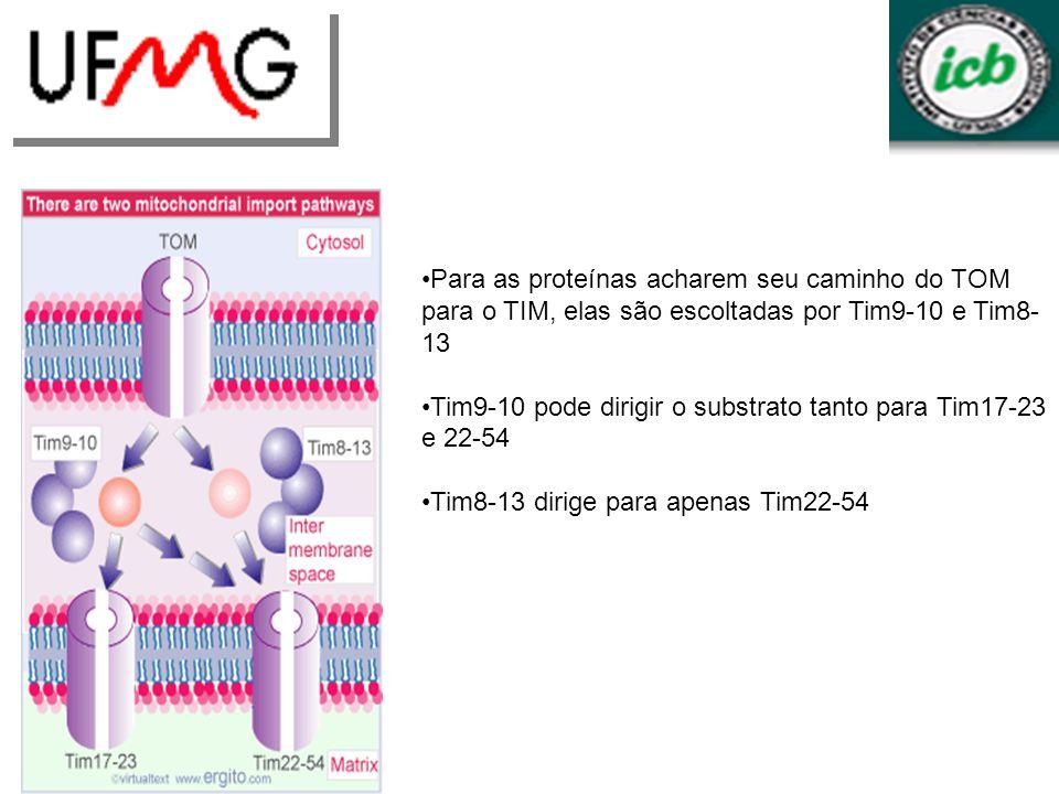 Para as proteínas acharem seu caminho do TOM para o TIM, elas são escoltadas por Tim9-10 e Tim8-13