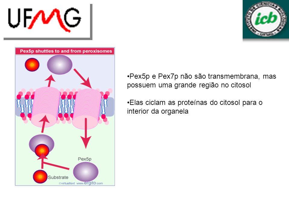 Pex5p e Pex7p não são transmembrana, mas possuem uma grande região no citosol