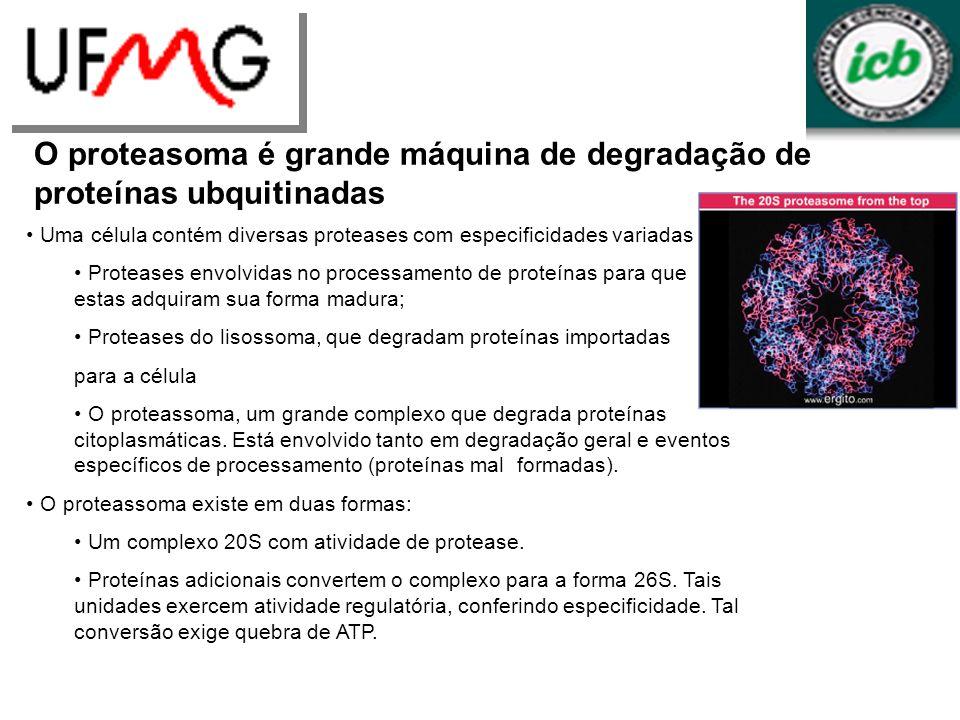 O proteasoma é grande máquina de degradação de proteínas ubquitinadas