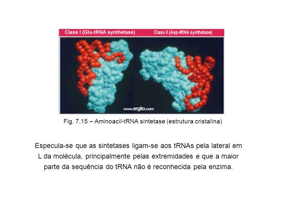 Fig. 7.15 – Aminoacil-tRNA sintetase (estrutura cristalina)