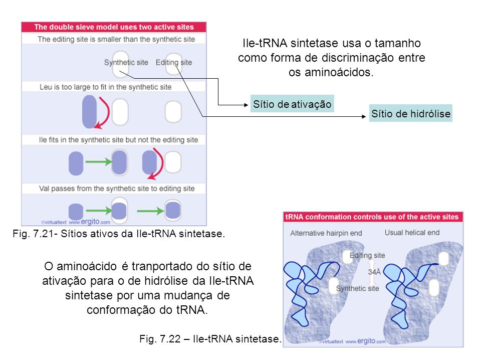 Ile-tRNA sintetase usa o tamanho como forma de discriminação entre os aminoácidos.