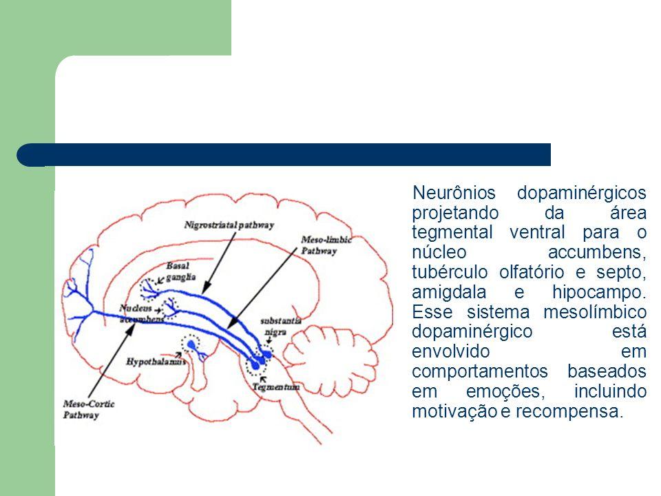 Neurônios dopaminérgicos projetando da área tegmental ventral para o núcleo accumbens, tubérculo olfatório e septo, amigdala e hipocampo.