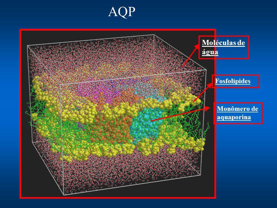 AQP Fosfolípides Moléculas de água Monômero de aquaporina